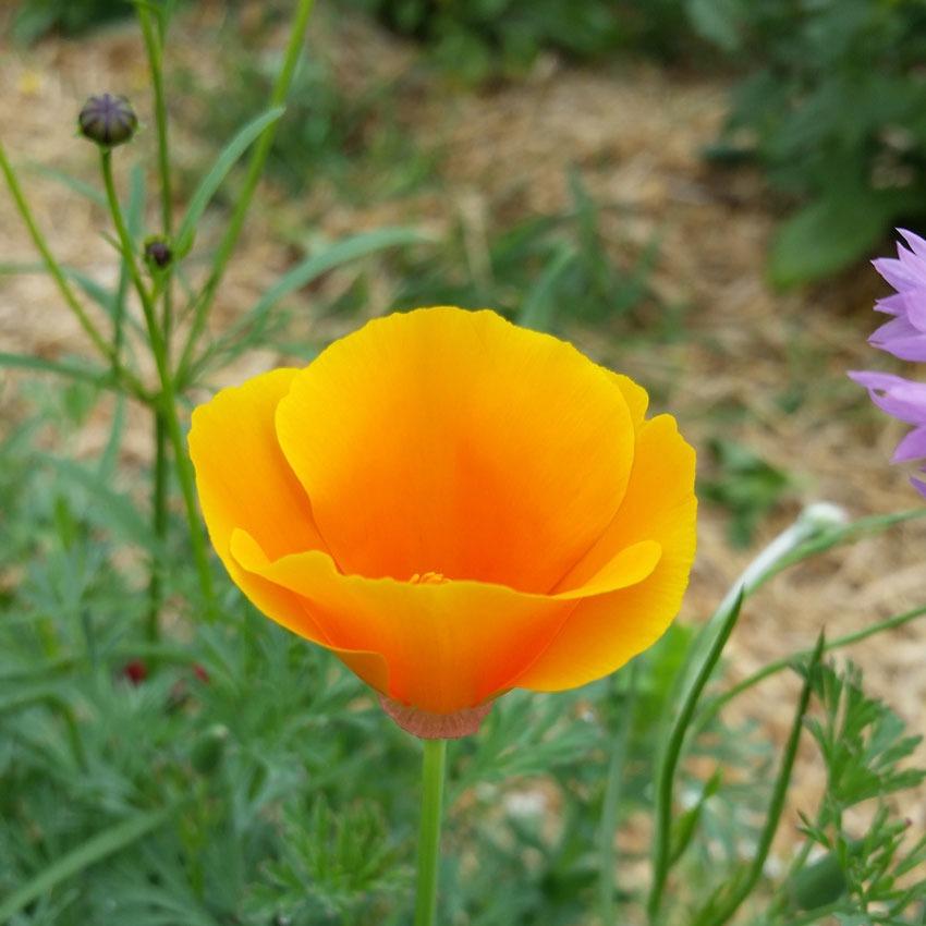 Wiesenblume Samenbombe